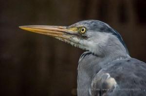 Face of heron